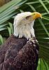 Bald Eagle<br /> Brevard Zoo, Florida<br /> 063-0072a