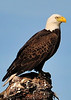 American Bald Eagle<br /> Viera Wetlands<br /> Melbourne, Florida<br /> 119-0309