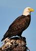 American Bald Eagle<br /> Viera Wetlands<br /> Melbourne, Florida<br /> 119-0309