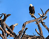 American Bald Eagles<br /> Bradenton, Florida<br /> 115-9273c