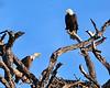 American Bald Eagles<br /> Bradenton, Florida<br /> 115-9273c