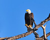 American Bald Eagle<br /> Bradenton, Florida<br /> 115-9497a
