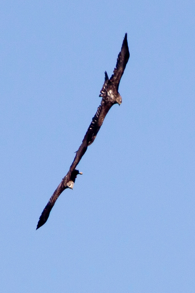 Immature Bald eagles in mating ritual