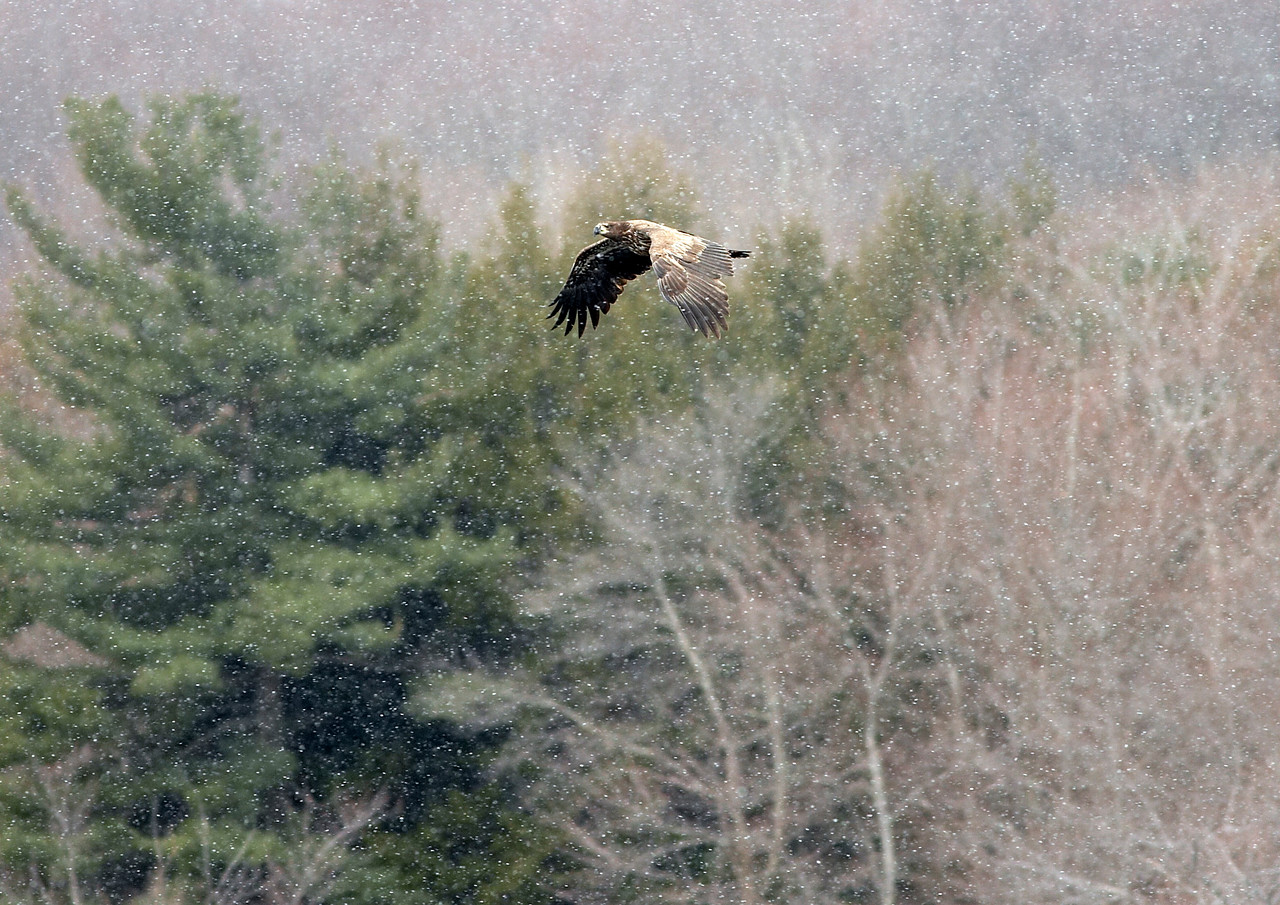 Immature Bald Eagle in Snow Squall