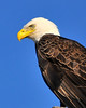 American Bald Eagle<br /> Merritt Island National Wildlife Refuge<br /> Merritt Island, Florida<br /> 111-8483a