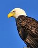 American Bald Eagle<br /> Merritt Island National Wildlife Refuge<br /> Merritt Island, Florida<br /> 111-8483a