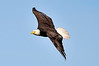 American Bald Eagle<br /> Viera Wetlands<br /> Melbourne, Florida<br /> 110-7500