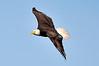 American Bald Eagle<br /> Viera Wetlands<br /> Melbourne, Florida<br /> 110-7500