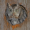 Eastern Screech Owl- Boone County