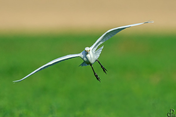 Egrets and Herons- אנפות