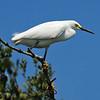 Snowy Egret<br /> New Symrna Beach, Florida<br /> 137-5139b