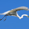 Great Egret<br /> New Symrna Beach, Florida<br /> 137-4706a