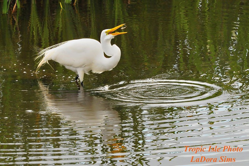 Great Egret<br /> Viera Wetlands, Fl<br /> 250-9450c