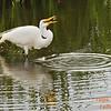 Great Egret<br /> Viera Wetlands, Fl<br /> 250-9450c