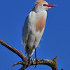 Cattle Egret<br /> Melbourne, Florida<br /> 133-3625a