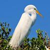 Great Egret<br /> New Symrna Beach, Florida<br /> 137-4815a