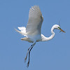 Great Egret<br /> New Symrna Beach, Florida<br /> 137-5161a
