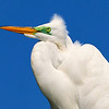 Great Egret<br /> New Symrna Beach, Florida<br /> 137-4699a