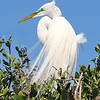 Great Egret<br /> New Symrna Beach, Florida<br /> 137-4877a