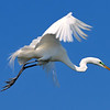 Great Egret<br /> New Symrna Beach, Florida<br /> 137-4705a