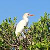 Cattle Egret<br /> New Symrna Beach, Florida<br /> 137-4662a