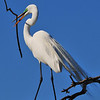 Great Egret<br /> Melbourne, Florida<br /> 133-3543a