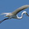 Great Egret<br /> New Symrna Beach, Florida<br /> 137-5163a
