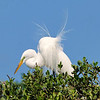 Great Egret<br /> New Symrna Beach, Florida<br /> 137-4778a