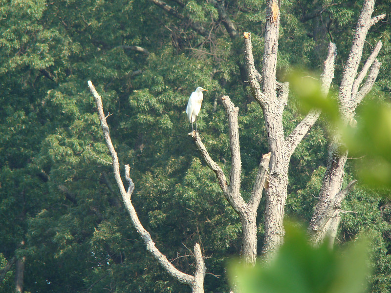 A Great Egret-Bryan Park 7-3-11