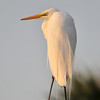 Great Egret<br /> Viera Wetlands<br /> Melbourne, Florida<br /> 054-6057a