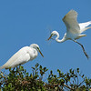 Great Egrets Nesting<br /> New Symrna Beach, Florida<br /> 137-4927a