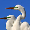 Great Egrets<br /> Melbourne, Florida<br /> 133-3709b