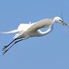 Great Egret<br /> New Symrna Beach, Florida<br /> 137-5158a