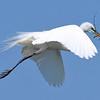 Great Egret<br /> New Symrna Beach, Florida<br /> 137-5162a