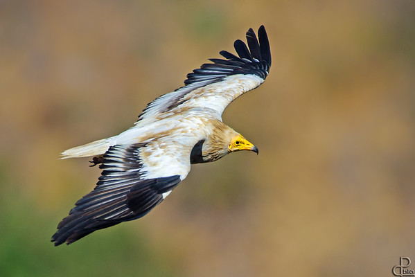 Egyptian Vulture - רחם