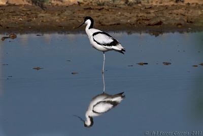 Alfaiate (Recurvirostra avosetta) Avocet