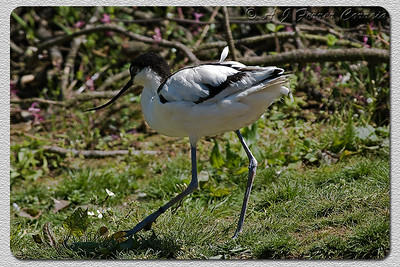 Alfaiate (Recurvirostra avosetta), - foto em cativeiro Avocet (photo in captivity)