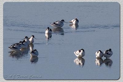 Alfaiate (Recurvirostra avosetta), em água até ao cimo das pernas Avocet, wading in top-of-leg deep water