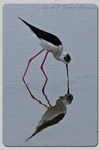 Perna-longa - Himantopus himantopus Black-winged stilt Cavalieri d'Italia