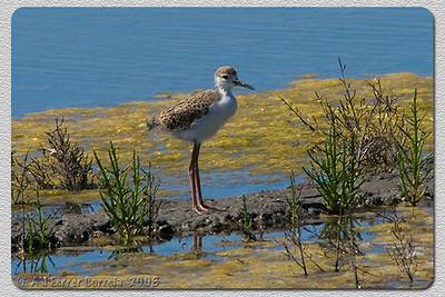 Perna-longa (juvenil) - Himantopus himantopus Black-winged stilt (chick)