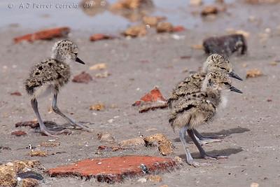 Perna-longa  (H. himantopus) - crias com dias, ou talvez horas, de idade Black-winged stilt - chicks very recently hatched (days, perhaps hours)