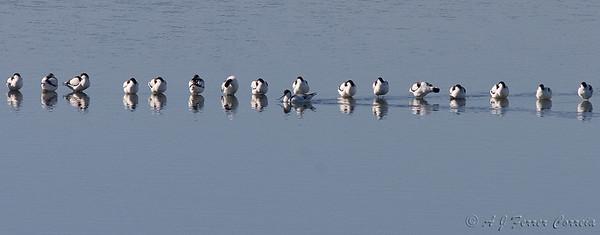 Revista às tropas - alfaiate (Recurvirostra avosetta), em água até ao cimo das pernas Inspecting the line - avocet, wading in top-of-leg deep water