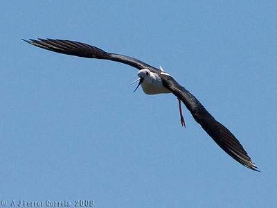 Perna-longa - Himantopus himantopus Black-winged stilt