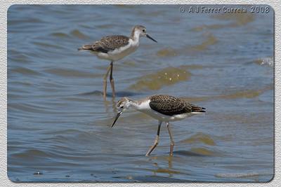 Perna-longa (juvenis) - Himantopus himantopus Black-winged stilt (chicks)