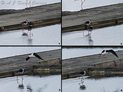Perna-longa - macho expulsa um intruso do território do casal. Black-winged stilt - male chases intruder off the couple's territory.