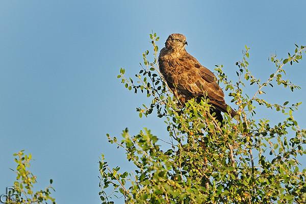 European Honey-buzzard - איית צרעים
