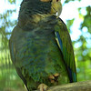 White Crowned Amazon
