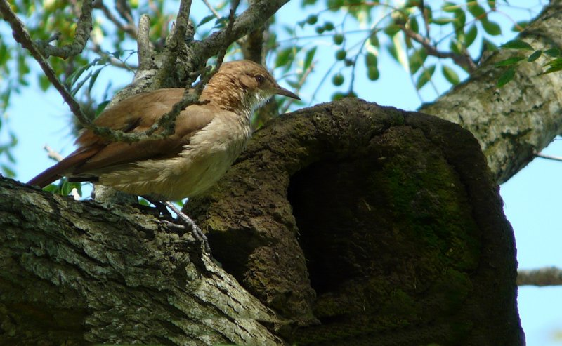 Oven bird and its nest . Uruguay.