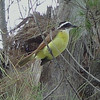 Kiskadee guarding its nest. Bermuda.
