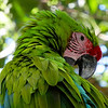 Military Macaw. Gumbalimba Park. Roatan, Honduras.